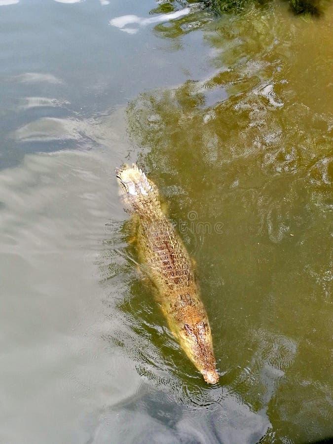 Den Estuarine krokodilantennöverkanten beskådar ner royaltyfria bilder