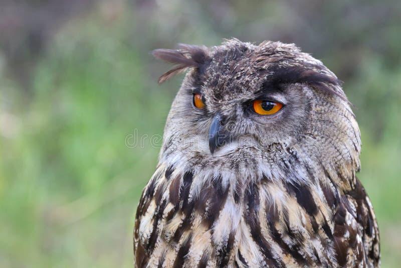 Den Eurasian Eagle-ugglan, Bubobubo arkivfoton