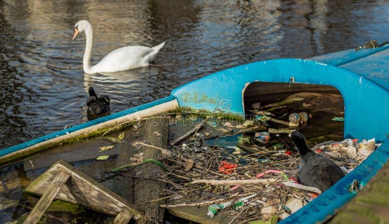 Den Eurasian sothönan sitter på ett rede som göras av ris och avfall, i ett delvist sjunkit fartyg i en Amsterdam kanal, medan pa arkivbilder