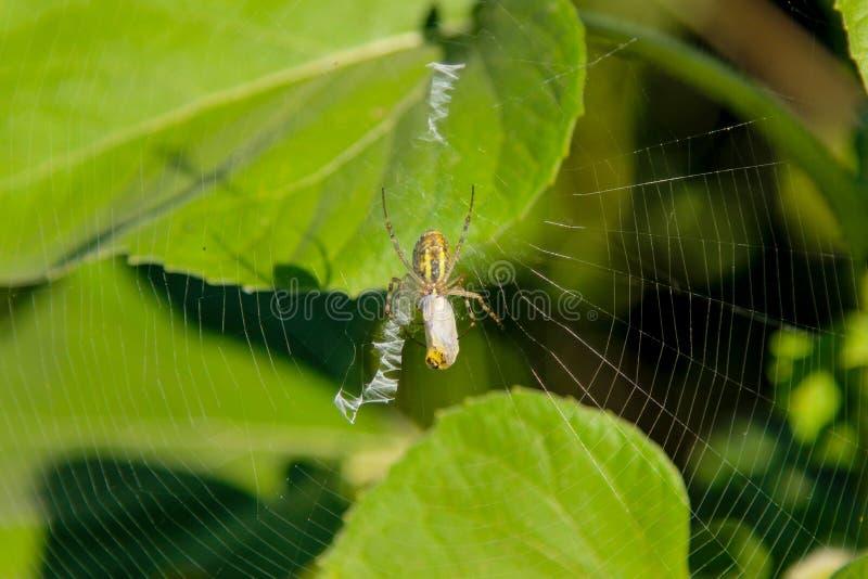 Den europeiska Araneusdiadematusen för trädgårds- spindel på dess spindelnät med dess rov arkivfoton