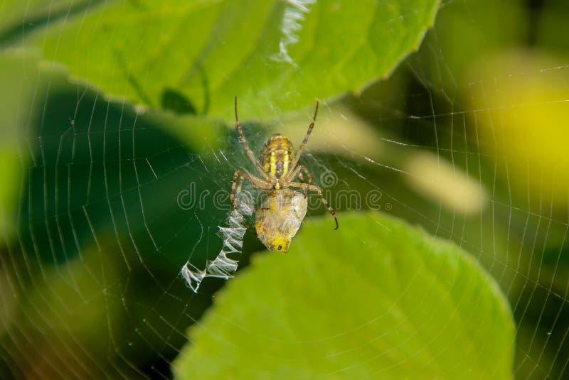 Den europeiska Araneusdiadematusen för trädgårds- spindel på dess spindelnät med dess rov arkivfoto