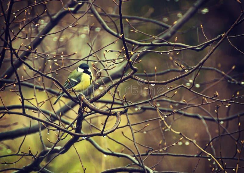 Den europeiska mesen på filial av att blomstra trädet med regn tappar royaltyfri fotografi