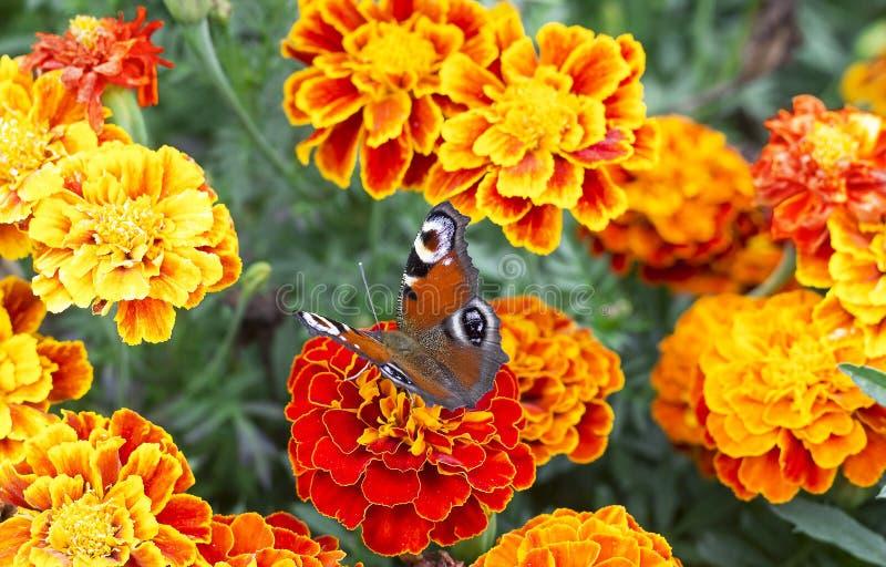 Den europeiska påfågelfjärilen sitter på den Tagetes blomman, bästa sikt royaltyfri bild