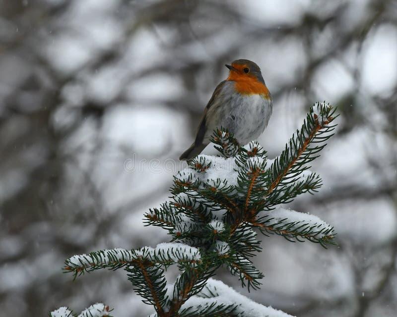 Den europeiska rödhaken, Erithacusrubecula sitter på en snöig granfilial royaltyfria foton