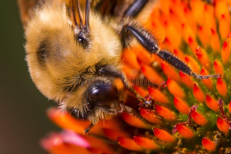 Den extrema closeupmakrodetaljen av stapplar bimatning/som pollinerar på vad kan vara art av kotteblomman royaltyfria foton