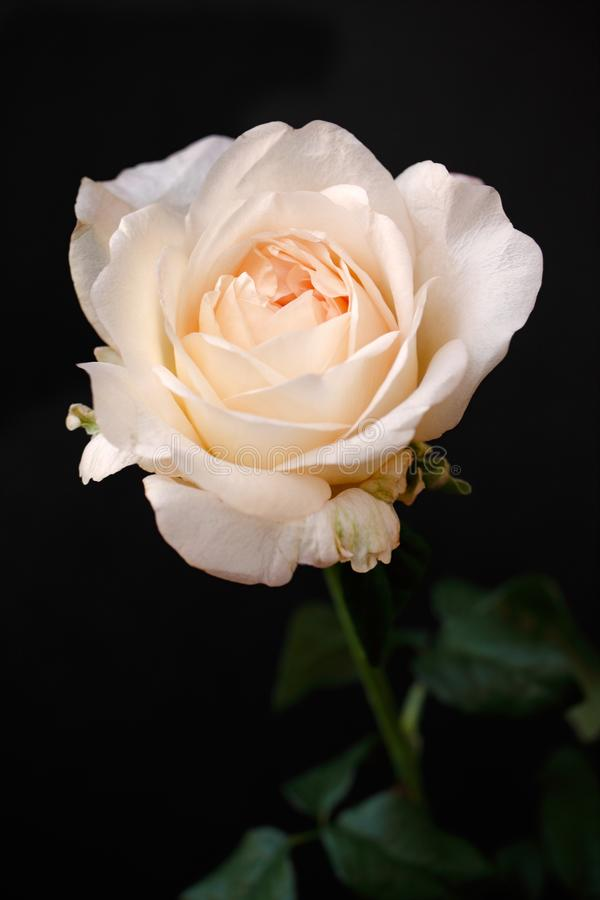 Den färgade ståenden av den pastellfärgade aprikons steg blomman på den svarta bakgrunden royaltyfria foton