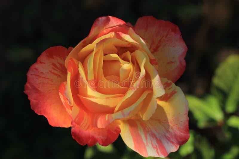 Den f?rgglade gula och orange rosen arkivfoto