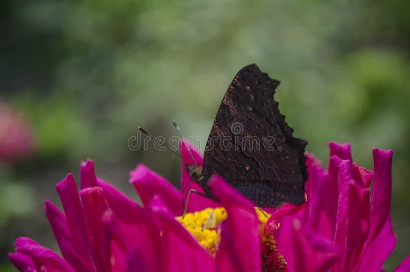 Den färgrika europeiska inachisen io, Aglais io för påfågelfjärilen sitter på en magentafärgad Zinniablomma med stängda vingar so royaltyfri foto