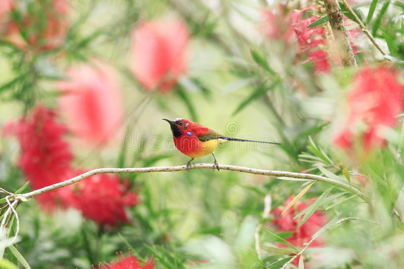 Den färgrika fågeln matar sött vatten i morgonen royaltyfri foto