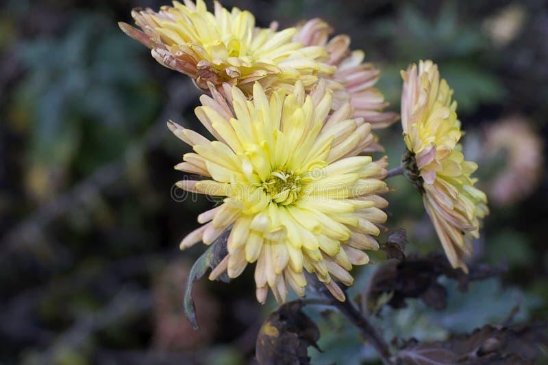 Den färgrika hösten blommar i december i min trädgård royaltyfria bilder
