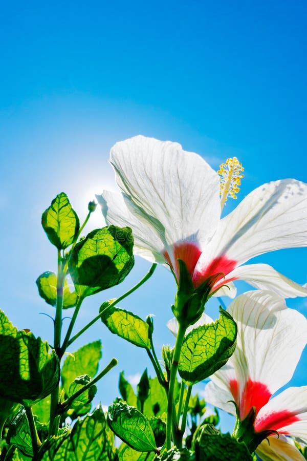 Den färgrika hibiskusen blommar på dagen arkivfoton
