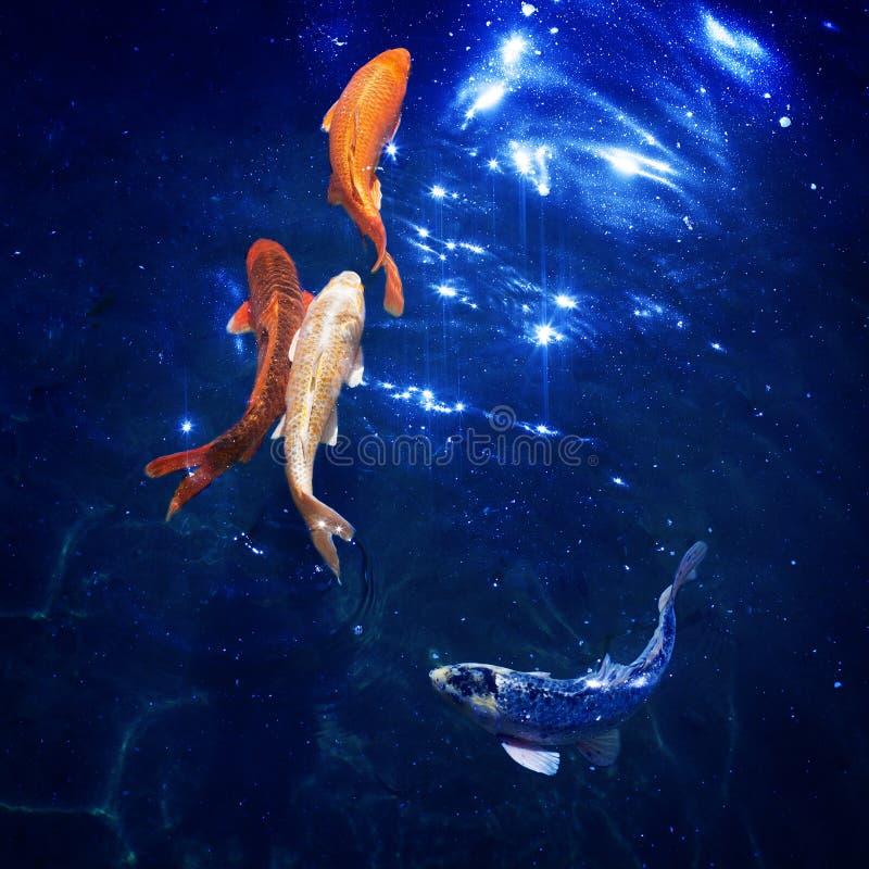 Den färgrika japanska koien kverulerar bad i dammslut upp, guldfiskar dyker i blått glänsande vatten, härliga tropiska guld- fisk fotografering för bildbyråer