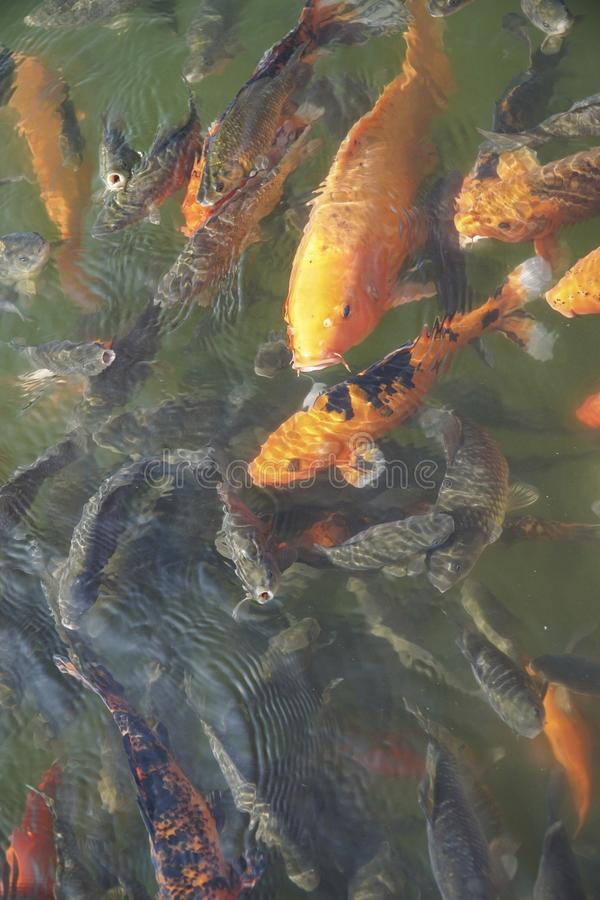 Den färgrika karpen fiskar simning i dammet fotografering för bildbyråer