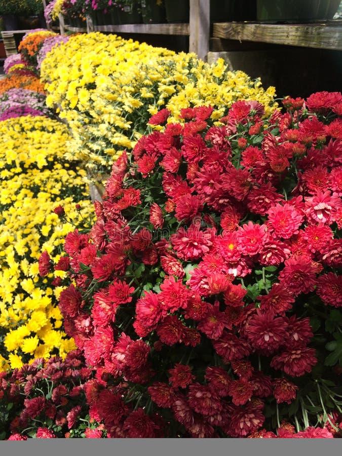 Den färgrika krysantemumnedgången blommar på den blom- marknaden royaltyfri foto