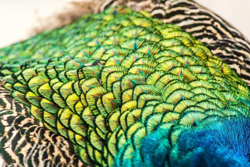Den färgrika påfågeln befjädrar närbildbakgrundstextur fotografering för bildbyråer