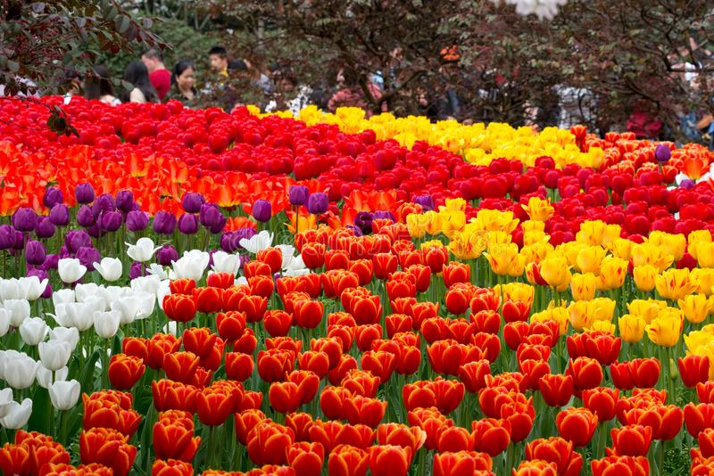 Den färgrika tulpan blommar i blom arkivfoto