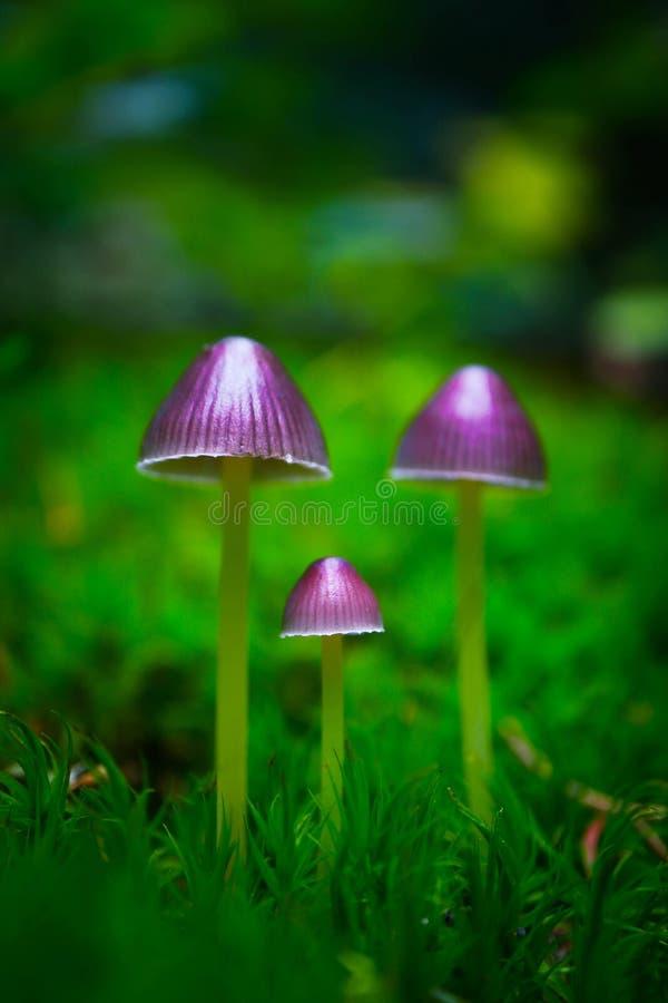 Den färgrika violetta magiska fen plocka svamp i den gröna mossan, makro royaltyfria bilder