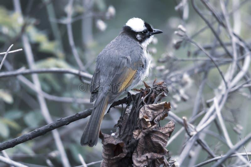 Den fågelPycnonotus sinensisen Ljus-vädrade kinesisk bulbul arkivfoton