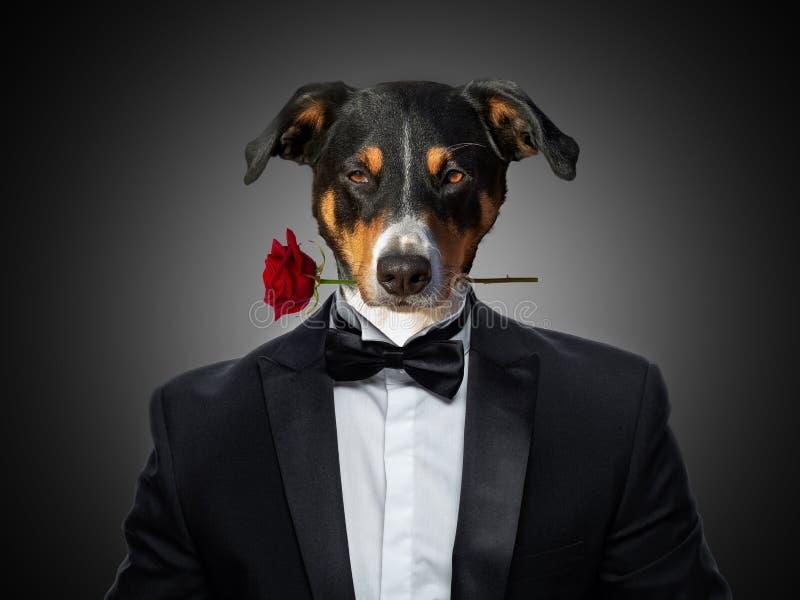 Den förälskade hunden för det valentinAppenzeller berget rymma en ros med munnen, i en dräkt ser, isolerat på svart bakgrund arkivbilder