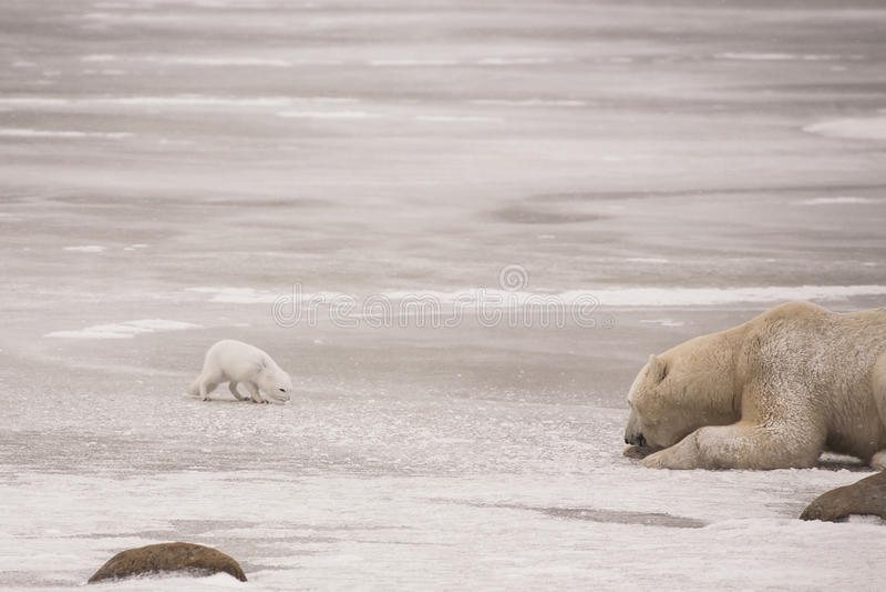 Den försiktiga isbjörnen möter den försiktiga arktiska räven arkivbilder