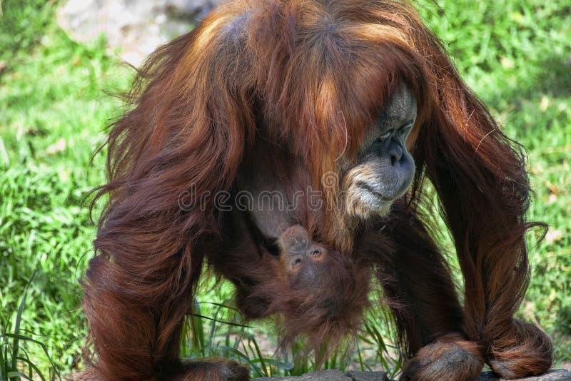 Den försiktiga modern tar omsorg av det ungt, den Sumatran orangutanget, Pongoabelii arkivbilder