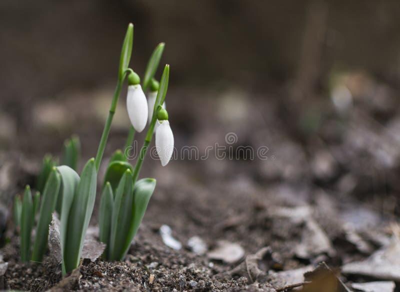 Den första snödroppevåren blommar i trädgård Selektivt fokusera royaltyfria foton