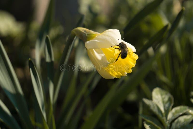 Den första tulpan på våren arkivbilder