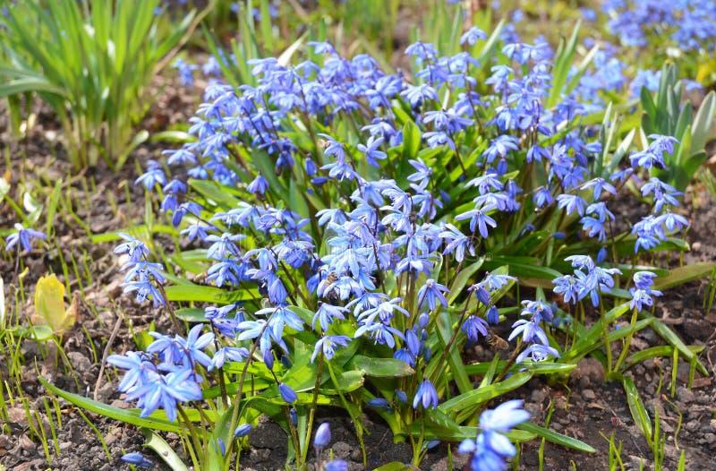 Den första vårblåttet blommar blommande blå scilla arkivbilder