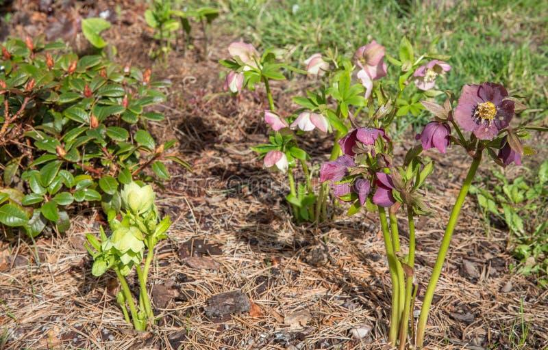 Den första vårdagen Att blomma blommar helleboren i en solig dag, också som är bekant som jul, eller Lenten steg Helleborus dubbl royaltyfri foto