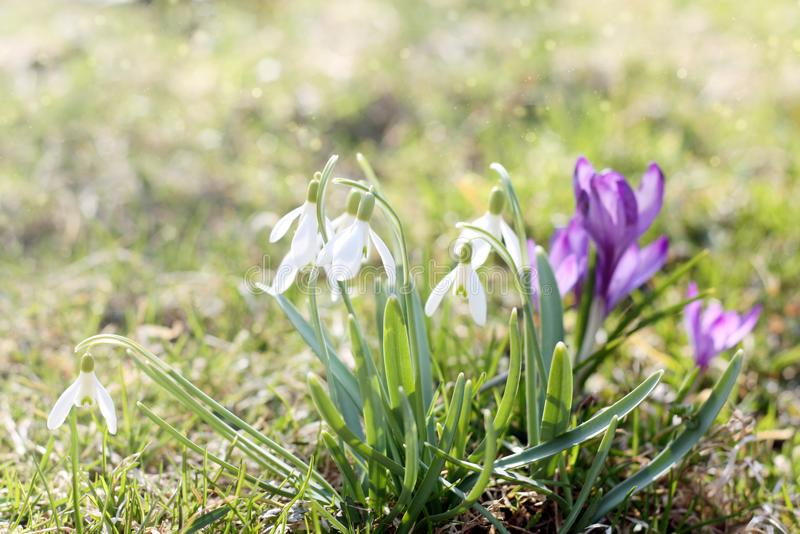 Den första våren blommar i ängen, knoppen av snödroppar, symbol av naturuppvaknandet i solljuset Ljus toning som ljusnar arkivfoto