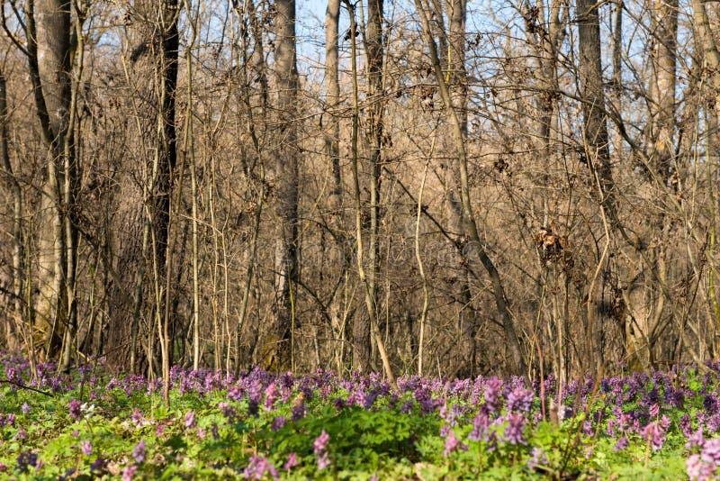 Den första våren blommar i skogen royaltyfri bild