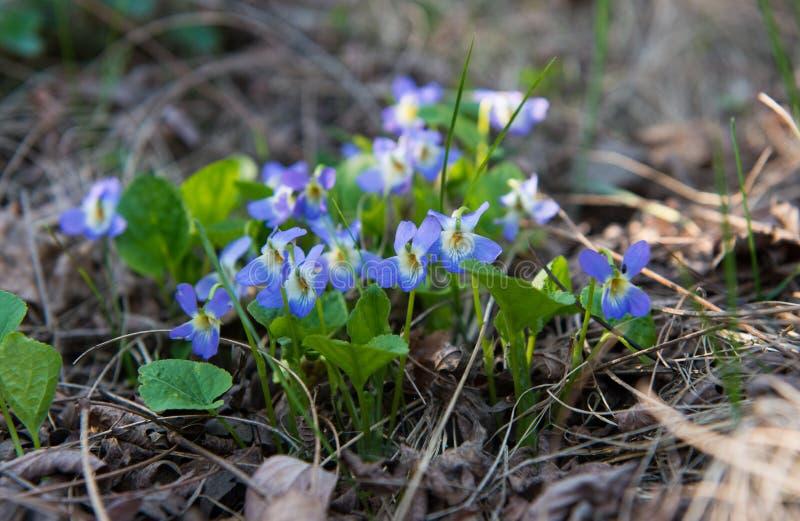 Den första våren blommar i skogen fotografering för bildbyråer