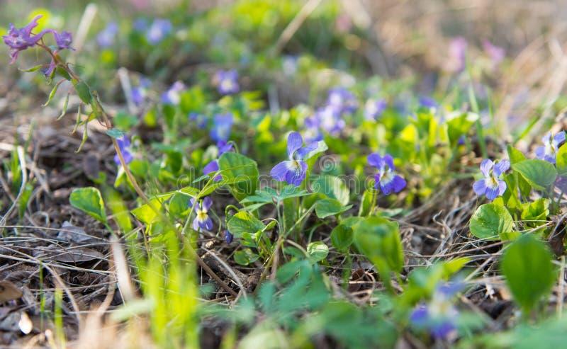 Den första våren blommar i skogen arkivfoto