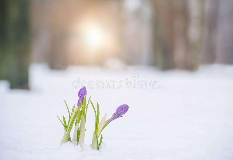Den första våren blommar i snön royaltyfria foton