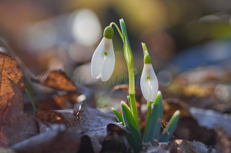 Den första våren blommar snödroppar royaltyfri fotografi