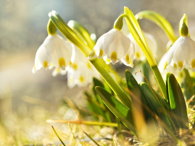 Den första våren blommar, snödroppar i äng, ett symbol av naturuppvaknandet royaltyfria bilder
