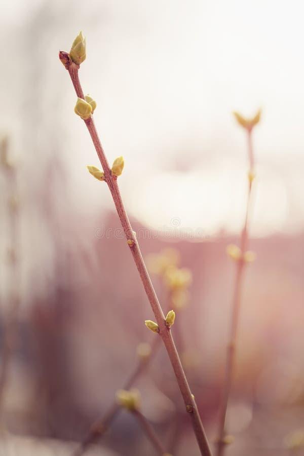 Den första våren slår ut på den lila busken arkivbilder