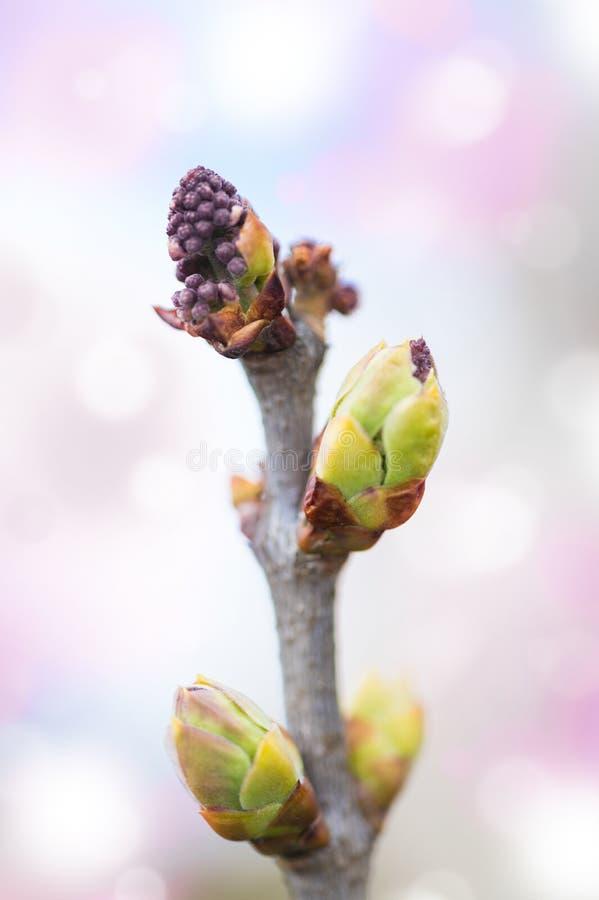 Den första våren slår ut på den lila busken royaltyfri fotografi