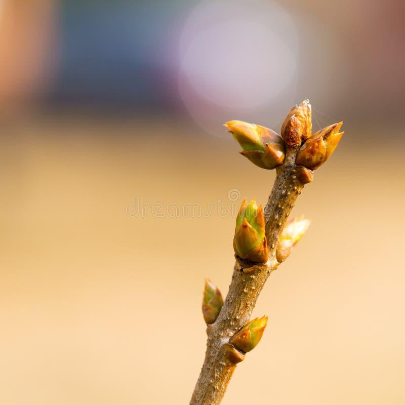 Den första våren slår ut på den lila busken med färgbokeheffekt arkivbilder