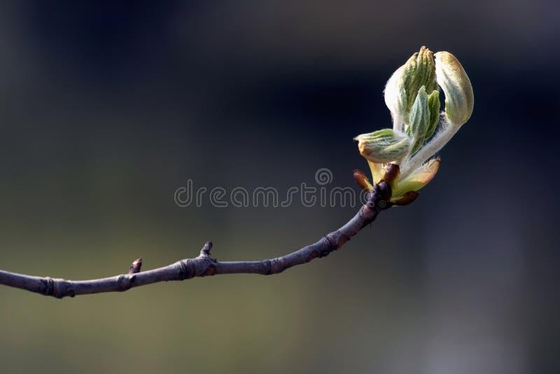 Den första våren slår ut på en trädfilial fotografering för bildbyråer