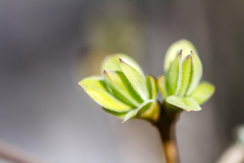 Den första våren slår ut på den lila busken royaltyfri foto