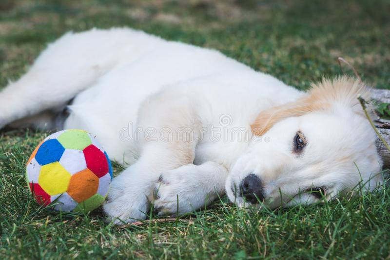 Den förtjusande golden retrievervalpen vilar nära en färgrik boll fotografering för bildbyråer