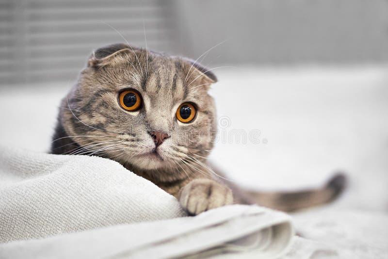 Den förtjusande gråa skotska veckstrimmig kattkatten är satt på vit säng i rummet arkivfoton