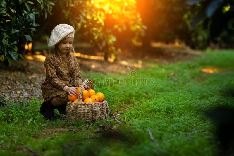 Den förtjusande lilla flickan som väljer nya mogna apelsiner i soligt orange träd, arbeta i trädgården i Italien arkivfoton