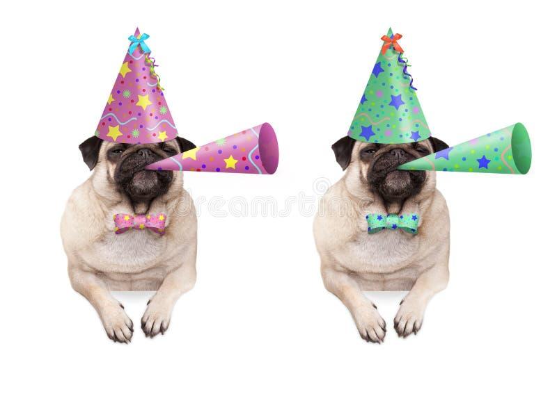 Den förtjusande mopsvalphunden som hänger med, tafsar på det tomma banret, bärande färgrik hatt för födelsedagparti och blåsahorn arkivbild