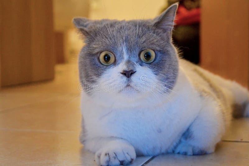 Den förvånade katten ligger på det belade med tegel golvet i huset Tysta ned av en brittisk katt med stora ögon, skrämt djur arkivfoto
