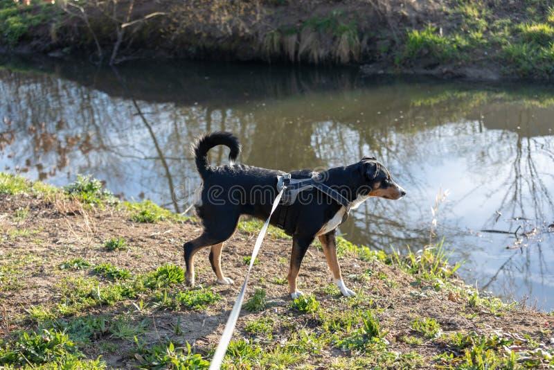 Den f?rtjusande appenzellerberghunden st?r p? en sj? i parkerar fotografering för bildbyråer