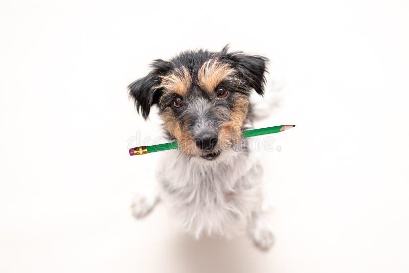 Den f?rtjusande Jack Russell Terrier hunden rymmer en blyertspenna i hans mun Den gulliga kontorshunden ser upp royaltyfri bild