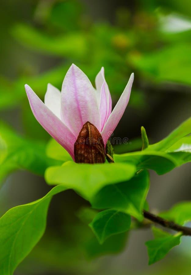 Den fantastiska rosa magnoliablomman, närbildsikt av att blomma blommor på en vårdag föreställer perfekt magnoliablomman som blom fotografering för bildbyråer