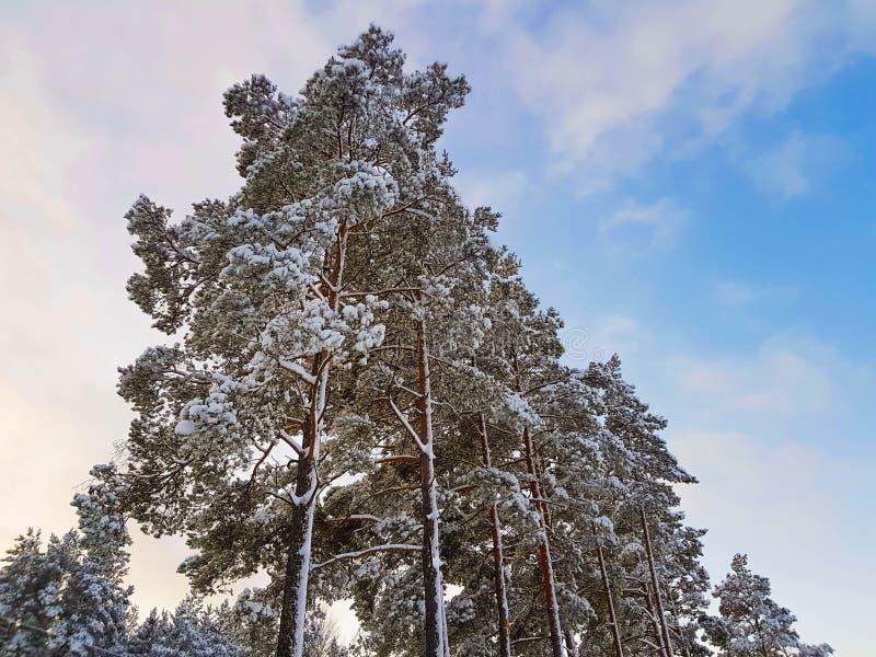 Den fantastiska sikten av sörjer trädkronan i snö på bakgrund för blå himmel arkivfoto